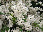 Fleurs de Deutzia x elegantissima
