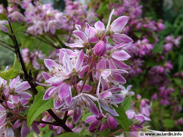 deutzie mont rose  deutzia x hybrida  u0026 39 montrose u0026 39    planter