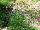 Oeillet des chartreux, Dianthus cathusianorum