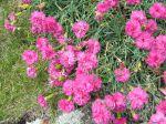 Oeillet mignardise, Dianthus plumarius