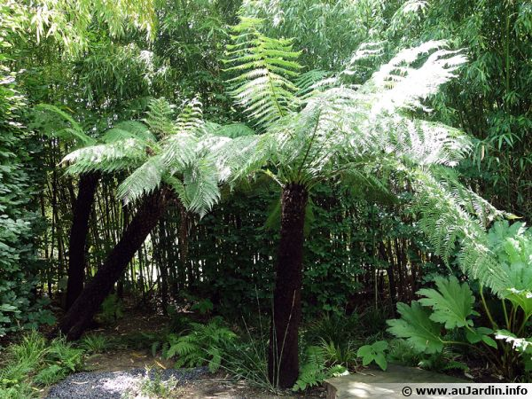 Dicksonia antartica, une fougère exotique du plus bel effet au jardin