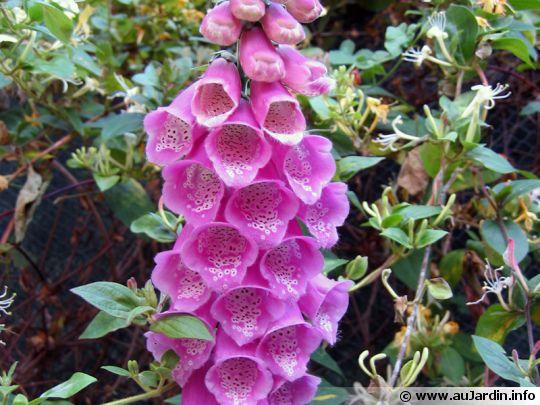 ces plantes qui font du bien. Digitalis-purpurea-fleur-540x405