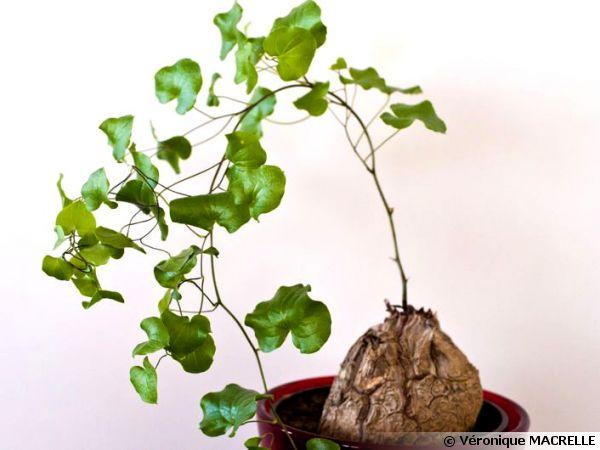 Plante tortue pied d 39 l phant dioscorea elephantipes - Plante verte appelee pied d elephant ...