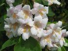 Dipelta florifère, Dipelta floribunda