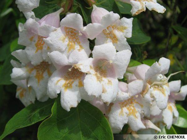 Fleurs du Dipelta florifère
