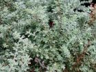 Bonjeanie h�riss�e, Dorycnie hirsute,  Dorycnium hirsutum