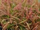 Rossolis du Cap, Drosera capensis