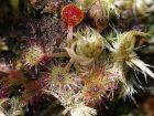 Rossolis à feuilles rondes, Drosera rotundifolia