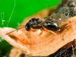 Cynips du châtaignier, Dryocosmus kuriphilus