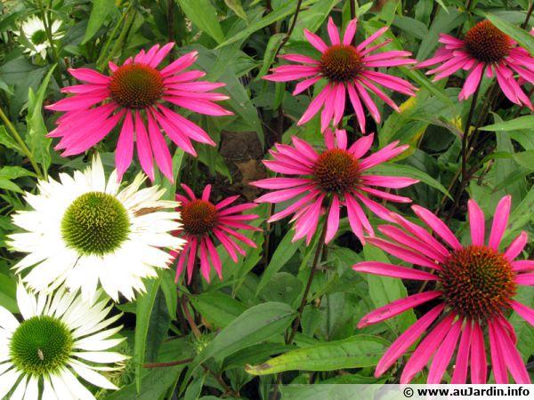 Echinac�e pourpre, Rudbeckie pourpre, Rudbeckia purpurea, Echinacea purpurea