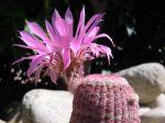 Cactus arc-en-ciel, Echinocereus rigidissimus ssp. rubispinus