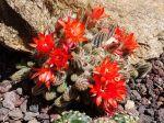 Cactus cornichon, Echinopsis chamaecereus