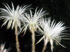 Fleur de la prière, Echinopsis mirabilis