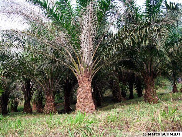 Plantation de palmiers à huile au Cameroun