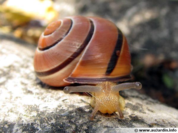 Un escargot du jardin en balade, mais comment lutter ?