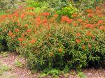 Floraison de l'Euphorbe de Griffith