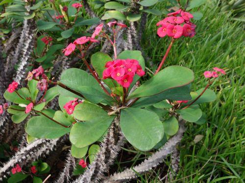 Epine du christ couronne du christ euphorbia milii for Plante 150 maladies madagascar