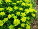Fleurs d'euphorbe polychrome