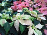 Bractées de Poinsettia blanches et rosées
