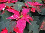Bract�es de Poinsettia rouges
