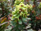 Euphorbe de Martin, Euphorbia x martinii