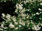 Buisson de perles, Exochorda