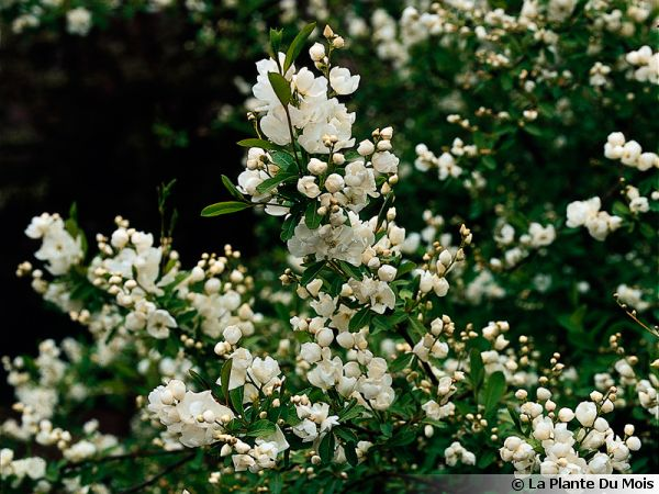 Buisson de perles exochorda conseils de culture for Plante buisson fleur