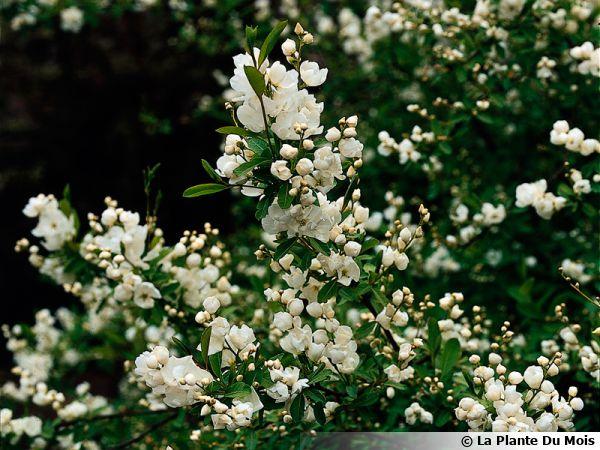 buisson de perles exochorda planter cultiver multiplier. Black Bedroom Furniture Sets. Home Design Ideas