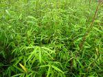 Des bambous pour tous les goûts