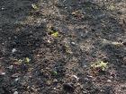 Le faux semis pour éliminer les mauvaises herbes