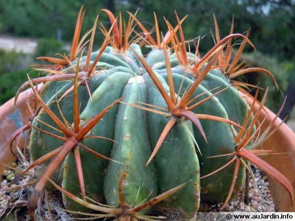 En dehors des régions doux, les cactus doivent être hiverner, mais comment ?