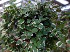 Figuier rampant, Figuier nain, Ficus rampant, Ficus pumila
