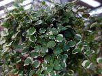 Figuier rampant White Sunny, Ficus pumila