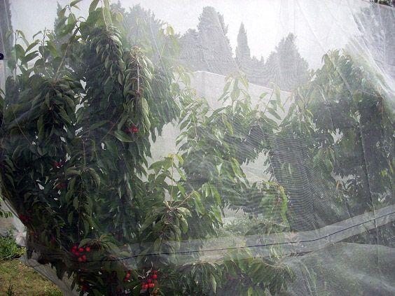 Filet de protection des cerisiers contre la mouche de la cerise (Rhagoletis Cerasi) mais aussi efficace contre la drosophile suzukii