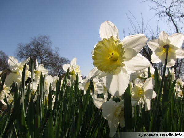 Les narcisses, un bulbe qui annonce le printemps