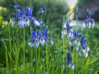 FLORALPINA, iris du groupe Spuria
