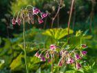 FLORALPINA, Nectaropetalum siculum