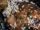 Collembole, Folsomia candida dans un compost