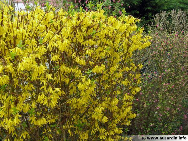 Les forsythia et les groseilliers à fleurs ne doivent pas être taillés en hiver