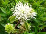 Grand fothergilla, Fothergilla major
