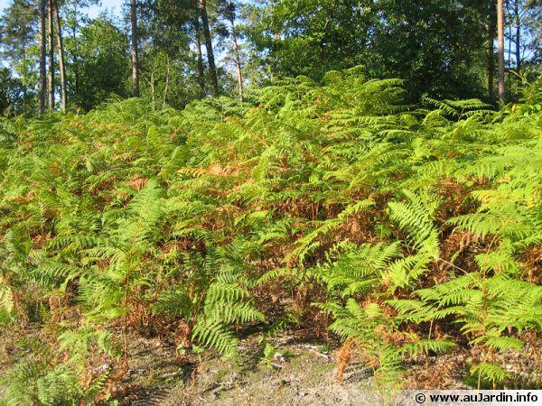 La fougère commune autrement nommée 'fougère aigle' pousse à l'état naturel dans les sous bois de feuillus ou de conifères