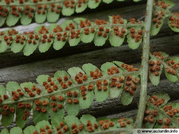 Spores présents sous les feuilles de fougères
