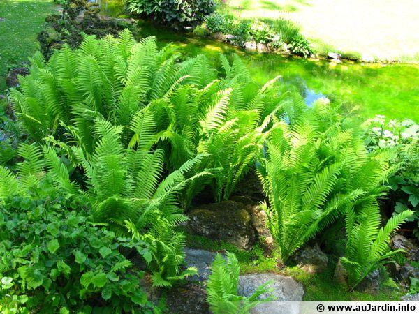 Les fougères sont toujours du plus bel effet au jardin, dans les massifs avec leurs côtés très graphiques
