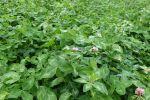 Les plantes fourragères