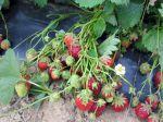 Fraisier (fraise), Fragaria