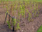 La plantation du framboisier