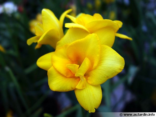 Fleurs de Freesia