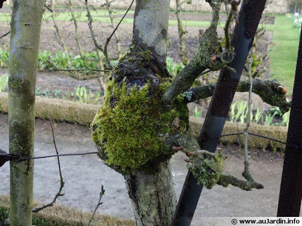 La mousse se développe sur une ancienne taille de l'arbre fruitier