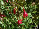 Fuchsia royal Reitzii, Fuschia grimpant rustique, Fuchsia regia ssp. Reitzii