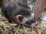 Le furet, un petit animal fort sympathique